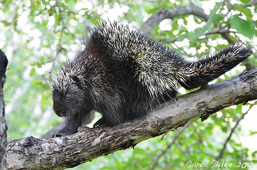 Part Nine of 'A Bestiary'  ~ North American Porcupine