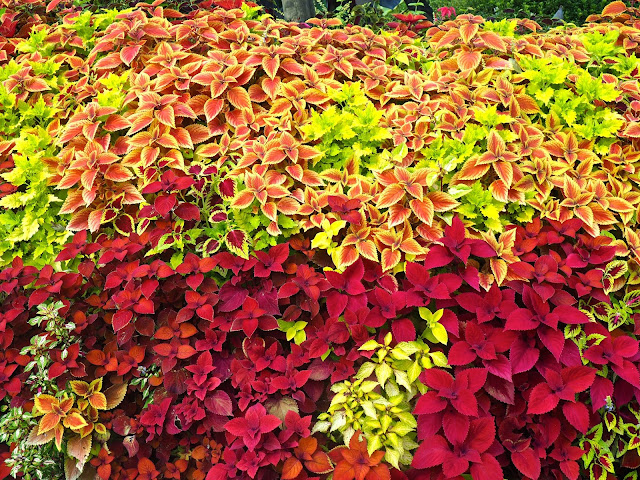 Red and yellow leafy bush in the Garden of Morning Calm, Gyeonggi-do, South Korea