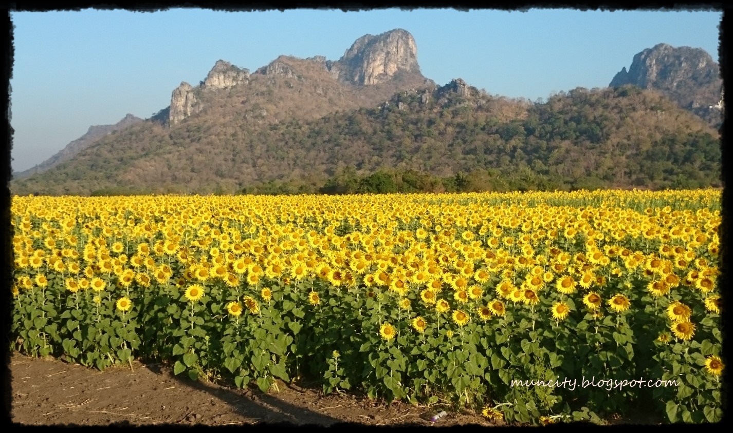 sunflower fields 2 by - photo #21