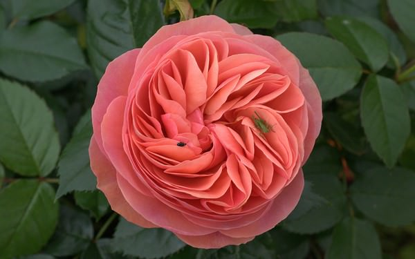 Rose Is The Worlds Most Popular Flower Of All Times Theres No Doubt About It One Beautiful Loved And Acclaimed Flowers