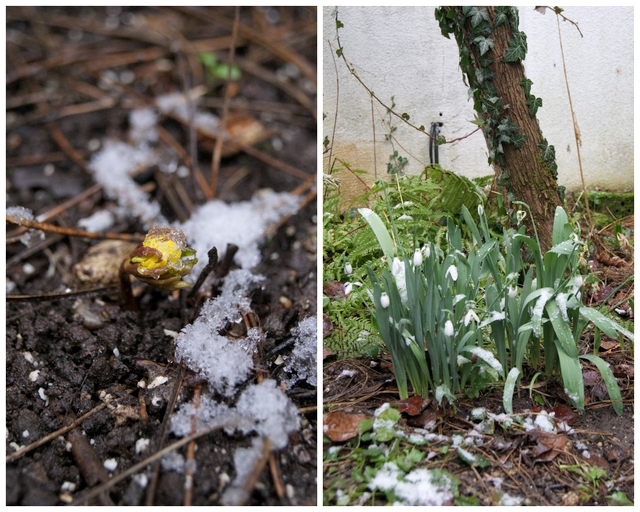 Winterling und Schneeglöckchen im Februar