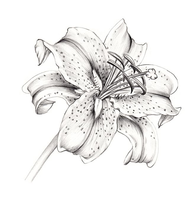 Rocky Mountain Society Of Botanical Artists A Drawing A