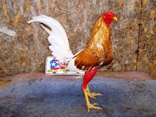 gallo bulico de pelea