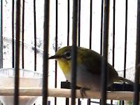 Cara Menjinakan Burung Pleci