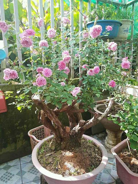 ghép hoa hồng