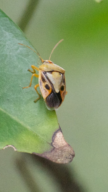 Shield Bug sp