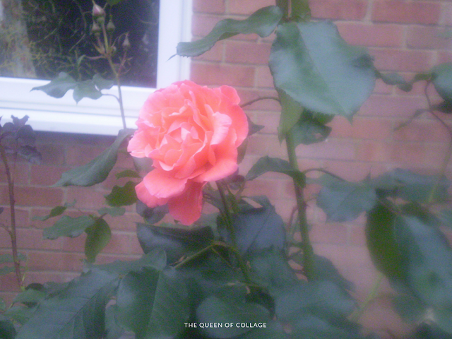#MySundayPhoto  - A Rose Among Leaves