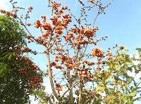 Butea Monosperma tree