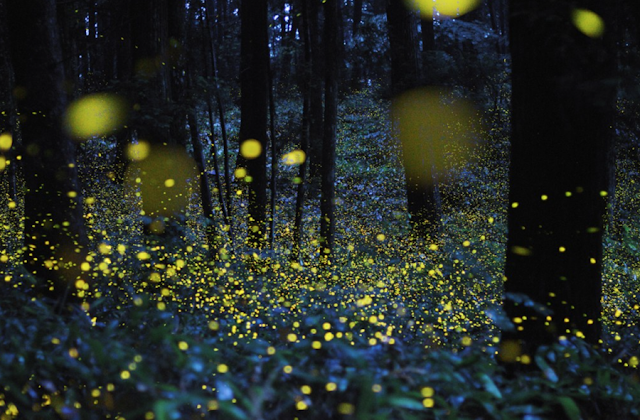 fireflies lightning bugs