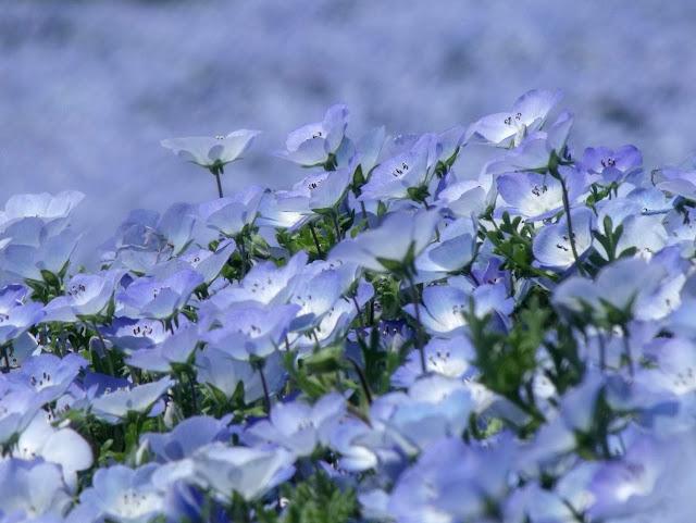 niebieska porcelanka