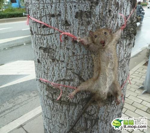 INFORMASI UNIK: tak berdaya si CIT CIT TIKUS di PASUNG ...