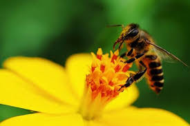 phấn ong