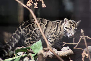 Clouded Leopard Baby.