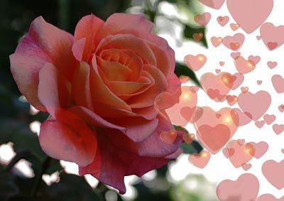 La rosa se abre
