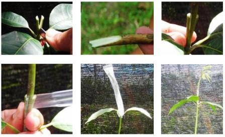 menyambung tanaman