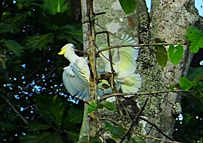White cockatoo in the forest of Manokwari. Birding tour with tourist guide Charles Roring