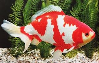 Gambar Ikan Mas Koki Termahal Jenis Wakin