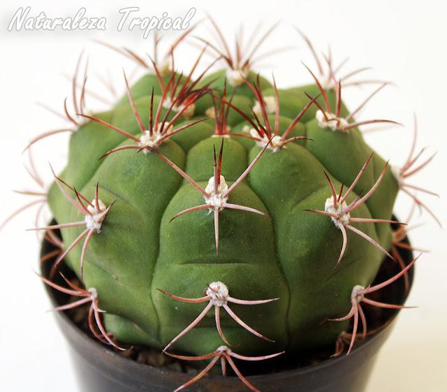 Vista del cactus Gymnocalycium pflanzii en maceta
