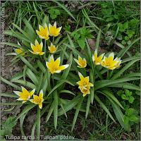 Tulipa tarda flowers - Tulipan późny kwiaty