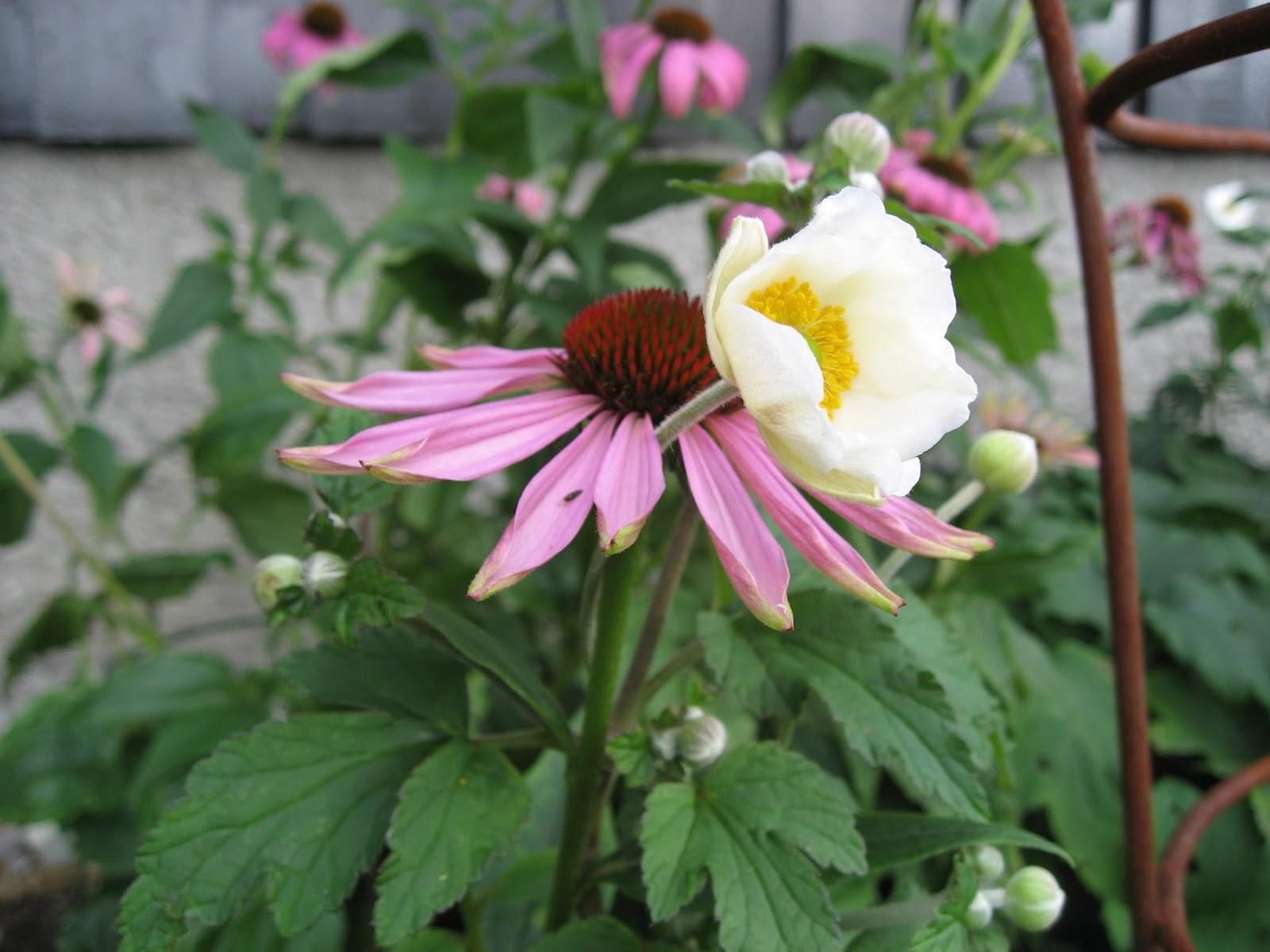 herlig hvit og rosa purpursolhatt echinacea i flere stadier. Black Bedroom Furniture Sets. Home Design Ideas
