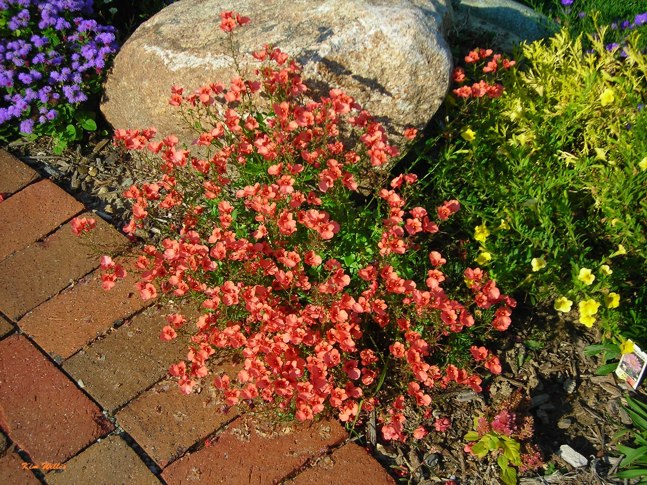 Gardening Granny\'s Gardening Pages: Diascia