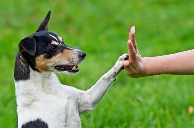 Lembre-se que o adestramento é feito a três: você, o adestrador e o cão. Deve haver um entrosamento entre o dono e o profissional para que o resultado seja positivo. Se você não for participativo, não culpe o adestrador se o cão não quiser obedecer você.