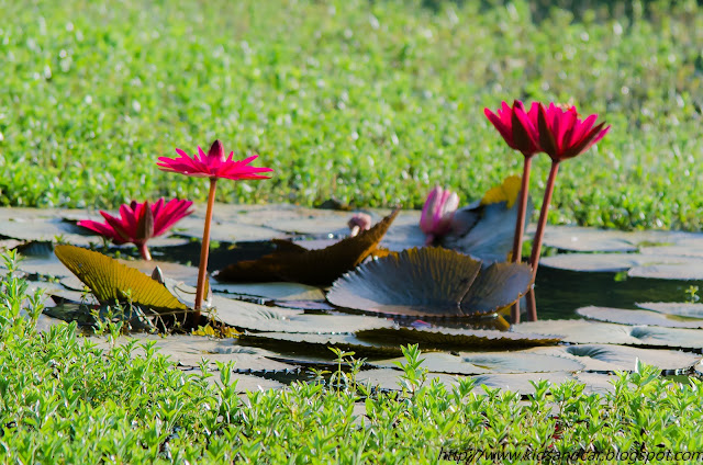 red lily flowers in pond