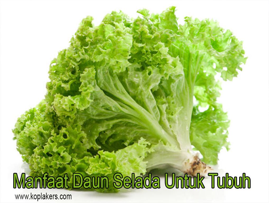 Manfaat daun selada untuk kesehatan dan kecantikan