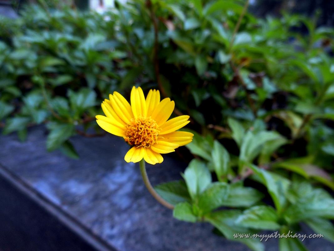 Admiring Little Sunflower Flower in the compound of Smart Inn hotel Pune