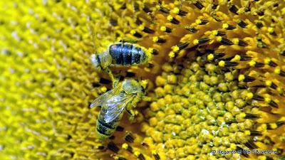 Insecte d'été abeille