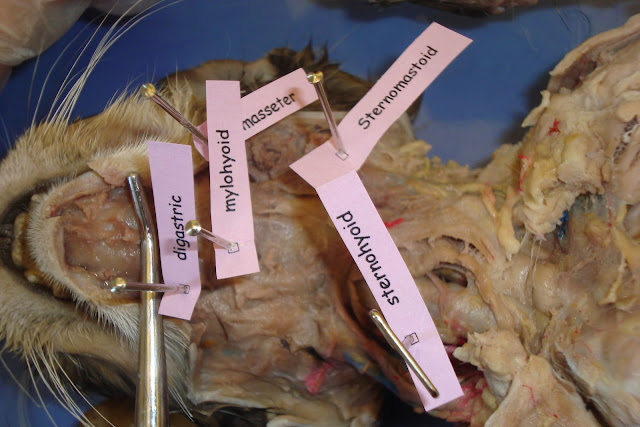 Cat Dissection: Human Anatomy: Head and Neck Labeling