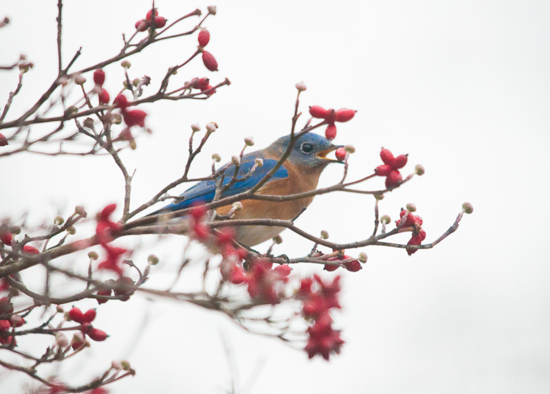Bluebird with Dogwood Berry