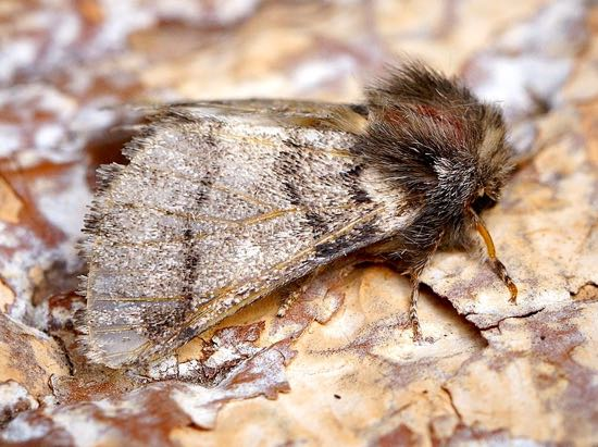 The oak processionary moth  Image by Ben Sale released under Creative Commons BY 2.0 via Wikimedia Commons