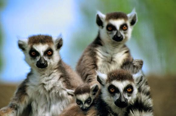 i buffi animaletti del Madagascar