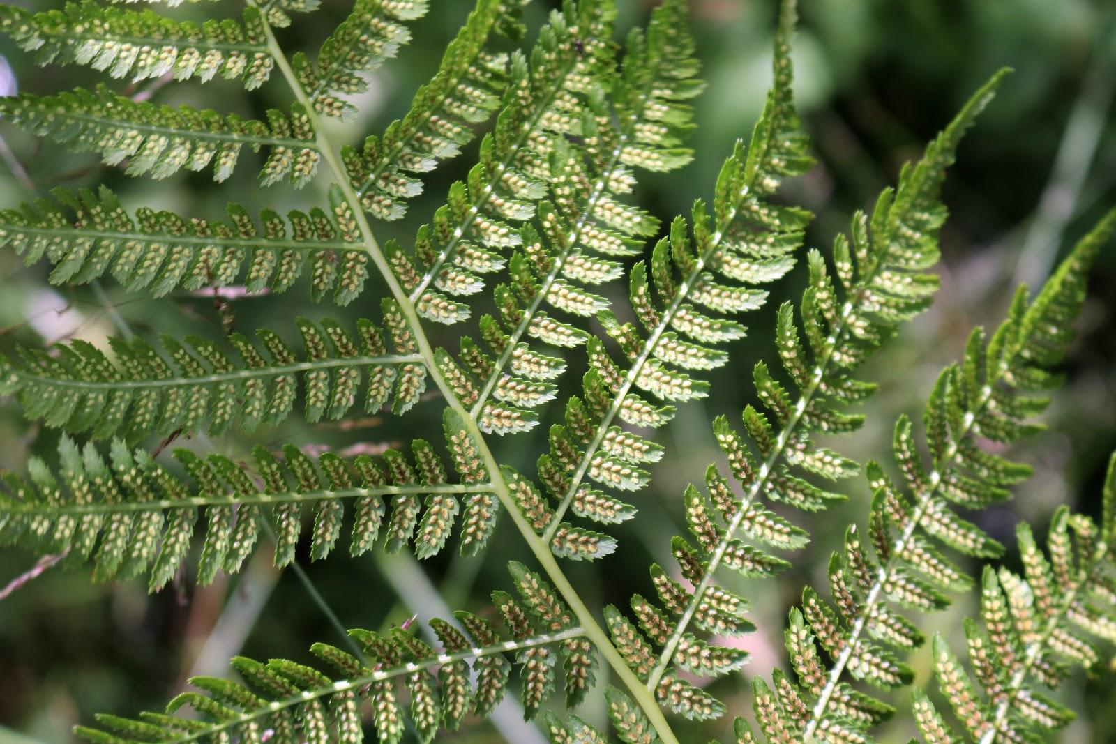 Seedless Vascular Plants Nonvascular Plants Amp Nature