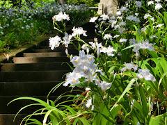 東慶寺のシャガ