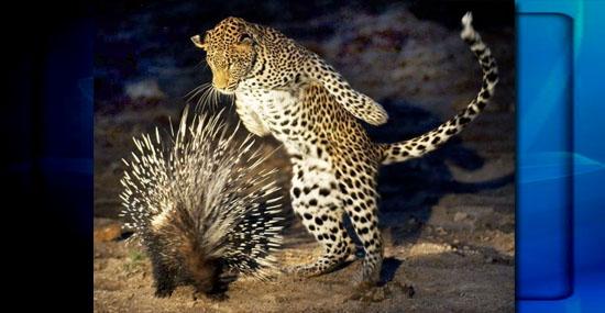Porco-Espinho Vs Leopardo - Adivinha quem ganha essa briga - Capa