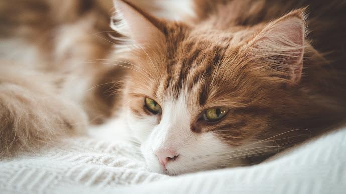 Wallpaper: Beautiful Sleepy Cat