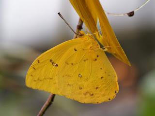 Phoebis philea - Callidryas philea