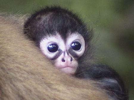 Animals Talk Cute Spider Monkeys