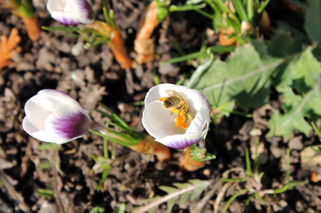 Ein lila-weißer Krokus, in dem eine Biene nach Pollen sucht.