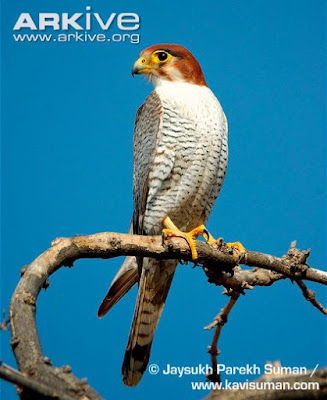 Red headed Falcon