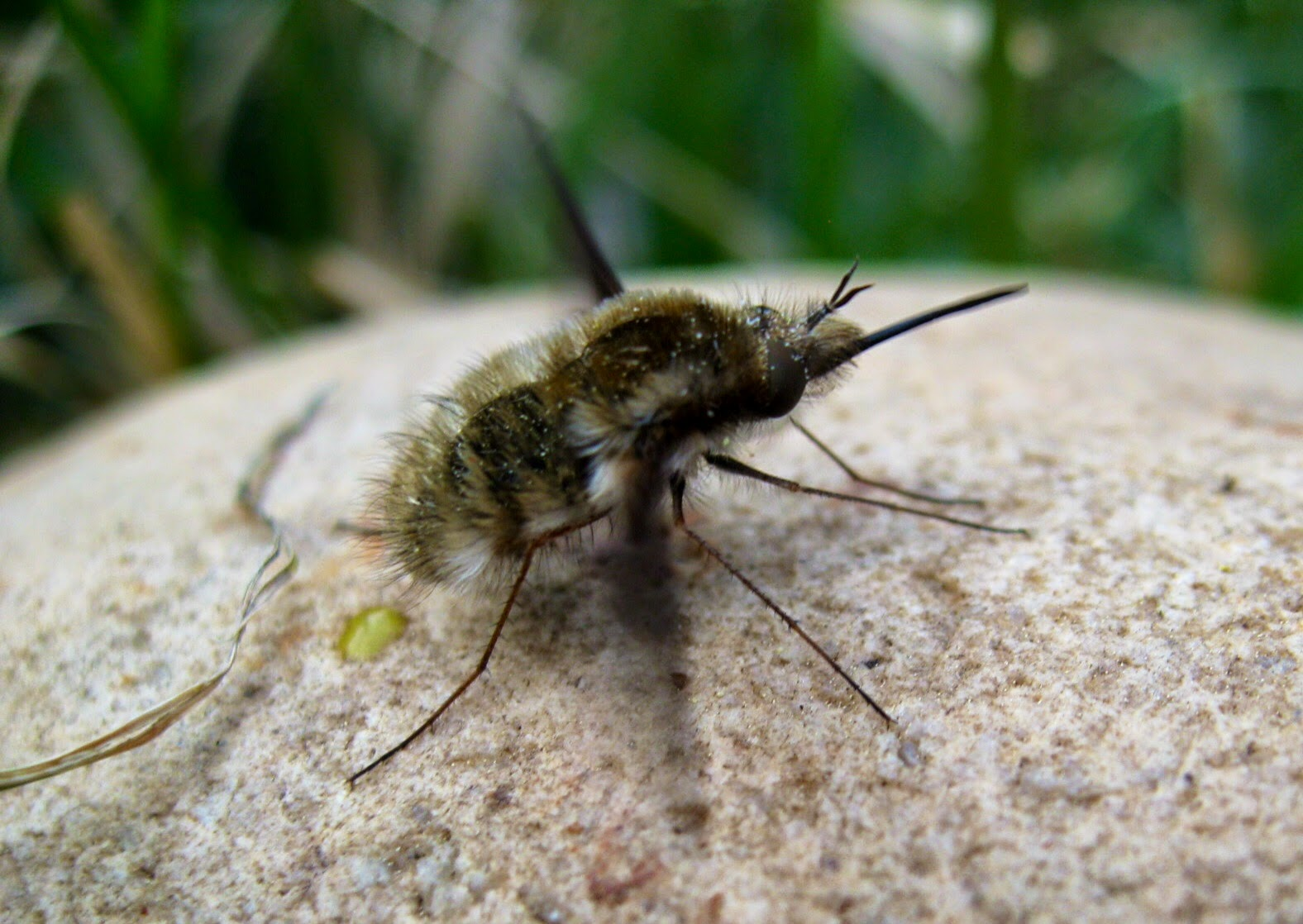 Capital Naturalist by Alonso Abugattas: Bee Flies