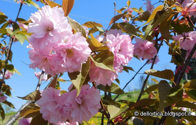 ciliegio prunus avium kanzan amanogawa accolade pissardii rose lavanda tarassaco erbe officinali sali aromatici confetture ed altro alla fattoria didattica dell'ortica a Savigno Valsamoggia Bologna in Appennino vicino Zocca