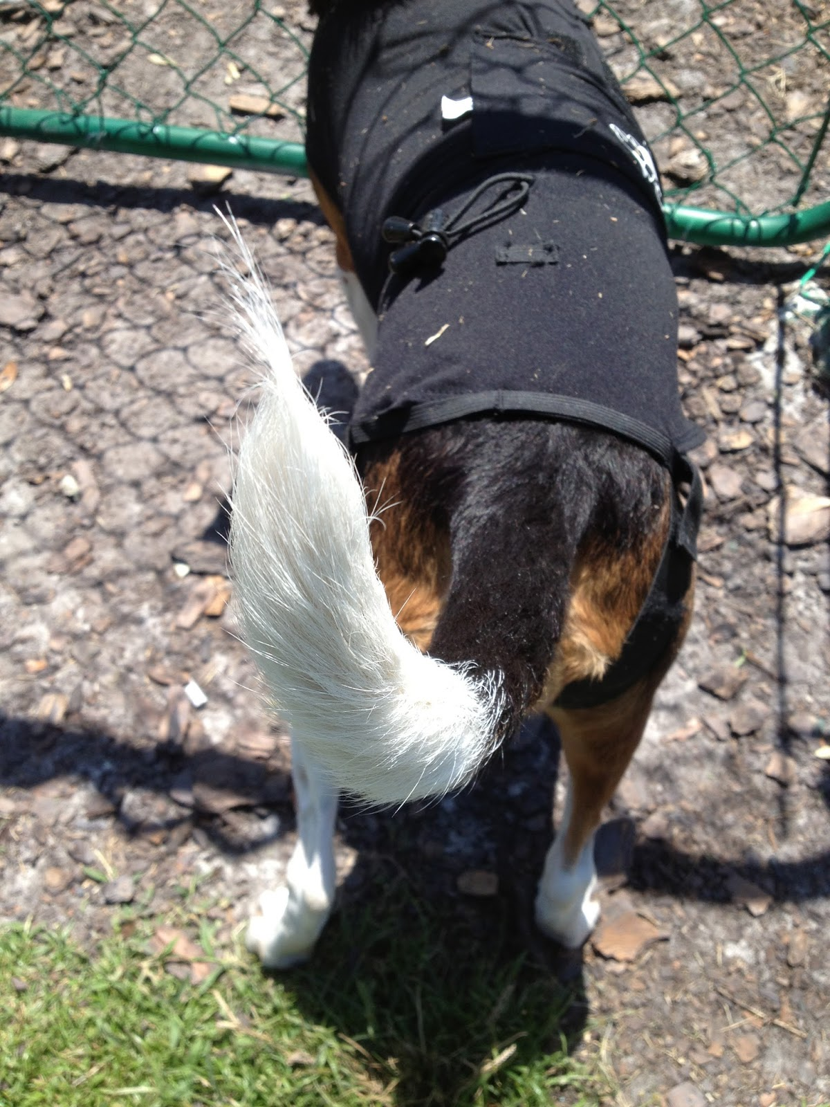 Life With Beagle: You know your dog's a beagle if    The Tail