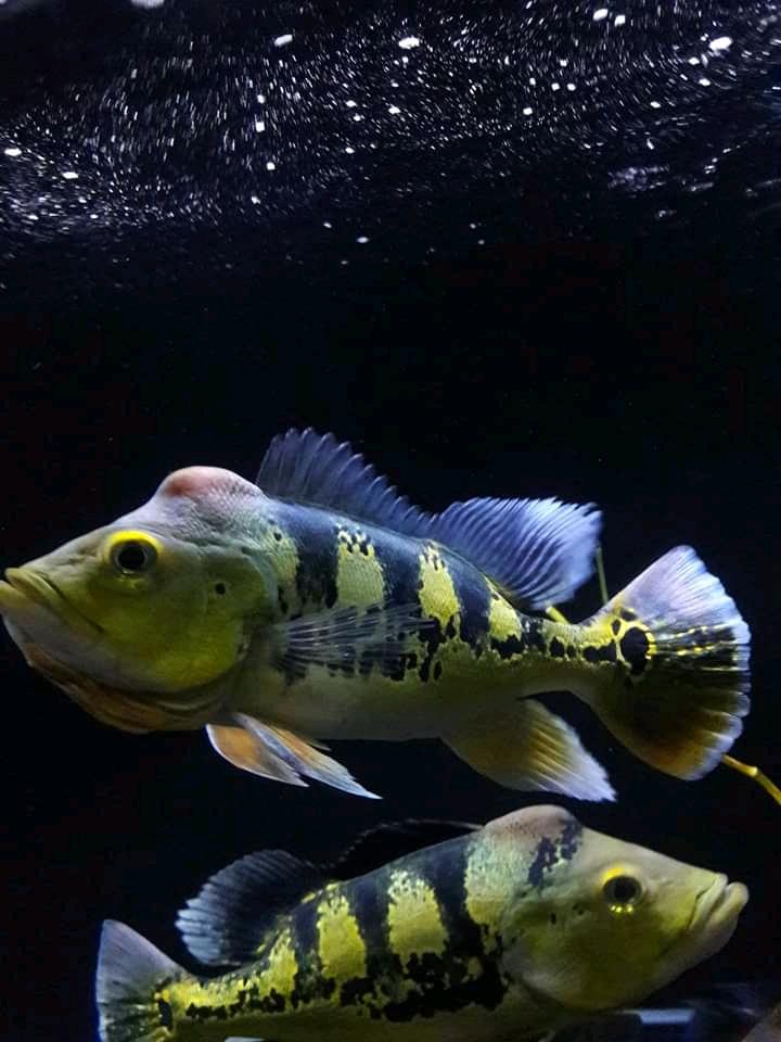 Mengenal Jenis Ikan Predator Peacock Bass Februari 2019