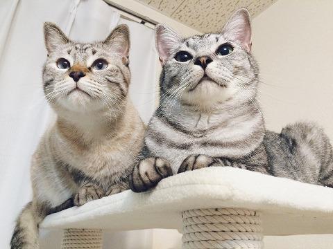 新しいキャットタワーを満喫する兄弟猫