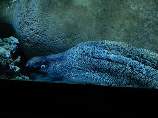 リヴォルノ水族館のウツボ