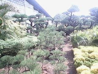 pangkalan-tanaman-hias