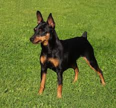 Black Miniature Pinscher small dog with crop tail